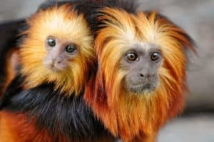 red and black monkey